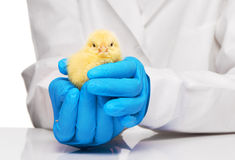 Veterinarians hands in blue gloves holding yellow chicken. Close up of veterinarians hands in blue sterilized surgical gloves holding small yellow chicken over royalty free stock photo