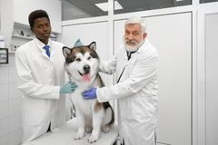 Veterinarians smiling, posing with malamute in clinic. Happy veterinarians working with animals in modern clinic. Beautiful alaskan malamute sitting on white stock photography