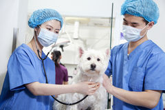Veterinarians with surgical masks examining dog Stock Photos