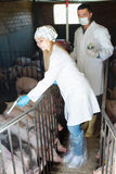 Veterinarians to make injection to pigs Royalty Free Stock Photo