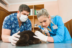 Veterinarians Royalty Free Stock Image