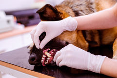 Veterinario che esamina cane da pastore tedesco con la bocca irritata Fotografia Stock Libera da Diritti