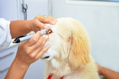 Veterinario che esamina cucciolo di cane sveglio Fotografia Stock
