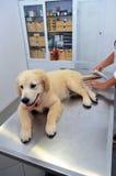 Veterinario che esamina cucciolo di cane sveglio Fotografia Stock Libera da Diritti