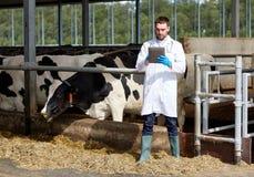 Veterinario con il pc e le mucche della compressa sull'azienda lattiera Fotografia Stock Libera da Diritti