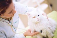 Veterinario con lo stetoscopio che esamina gatto persiano all'ufficio fotografia stock libera da diritti