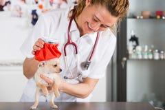 Veterinario con un cucciolo della chihuahua Immagine Stock Libera da Diritti