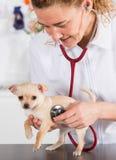 Veterinario con un cucciolo della chihuahua Immagini Stock Libere da Diritti