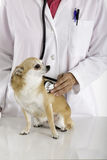 Veterinario de sexo femenino que examina un perro de la chihuahua Fotografía de archivo libre de regalías
