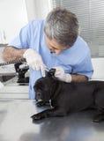 Veterinario de sexo masculino que examina el dogo francés con el otoscopio imagen de archivo libre de regalías