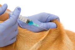 Veterinario del primo piano che fa ad iniezione il cane Fotografie Stock