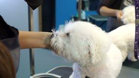 Veterinario della donna asciutto la pelliccia bagnata del cane nella clinica veterinaria archivi video