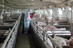 Veterinario e agricoltore Working Together Immagine Stock Libera da Diritti