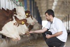 Veterinario e mucche fotografie stock
