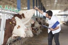 Veterinario e mucche immagini stock