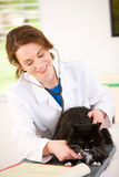 Veterinario: El escuchar Cat Heartbeat imagenes de archivo
