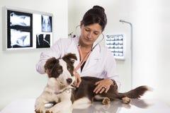 Veterinario esaminando un cane mentre facendo controllo alla clinica bord immagini stock libere da diritti