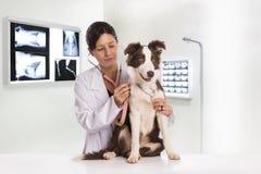 Veterinario esaminando un cane mentre facendo controllo alla clinica bord fotografia stock