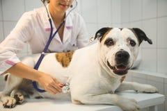 Veterinario femminile con il cane alla clinica del veterinario immagini stock