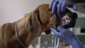 Veterinario hermoso que comprueba los dientes de perro almacen de video