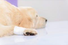 Veterinario professionista che esamina un cane Immagini Stock