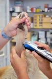 Veterinario que afeita la pierna de los perros fotografía de archivo libre de regalías