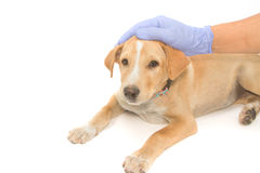 Veterinario que cuida que conforta el perro enfermo foto de archivo libre de regalías
