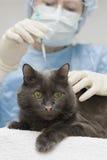 Veterinario que da la insulina de la inyección a un gato Imágenes de archivo libres de regalías