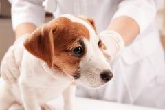 Veterinario que examina el perro divertido lindo en clínica, fotos de archivo