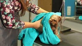 Veterinario que limpia un Yorkshire Terrier mojado con una toalla en una clínica veterinaria almacen de metraje de vídeo