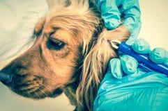 Veterinario que quita una señal del perro de cocker spaniel foto de archivo libre de regalías