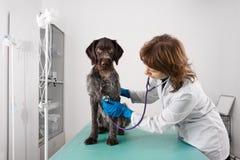 Veterinario que trabaja con un perro en la clínica imagen de archivo