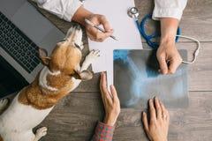 Veterinario que visita con el terrier de Jack Russell del perro Cuida el escritorio del top Consulta de la radiografía imagen de archivo