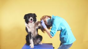 Veterinario rubio bueno que trata la pata del border collie almacen de video