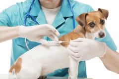 Veterinario y perro con el implante del microchip Foto de archivo