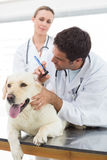 Veterinarios que comprueban el oído del perro Foto de archivo libre de regalías