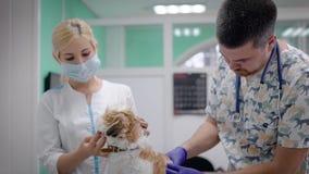 Veterinary и медсестра рассматривая маленькую собаку акции видеоматериалы