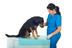 Veterinary assessing dog. Veterinary woman assessing dog on table in veterinary office royalty free stock image
