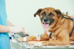 Veterinary blood test examination of the dog Stock Photos