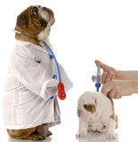 Veterinary care. English bulldog doctor standing beside puppy getting vaccinated Stock Image