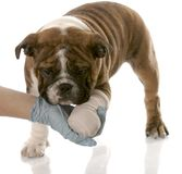 Veterinary care. Veterinarian hand holding wounded paw of english bulldog puppy Royalty Free Stock Photo