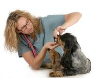 Veterinary care. Veterinarian examining dogs teeth on white background - english cocker spaniel Royalty Free Stock Photography