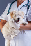 Veterinary care concept - little dog carried for examination Stock Photo