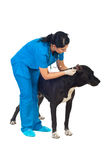 Veterinary check dog ears. Veterinary woman checking great Dane dog ears over white background Royalty Free Stock Image