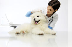 Veterinary checks the ears dog on the table in clinic. Veterinary checks the ears dog on the table in vet clinic Royalty Free Stock Photos