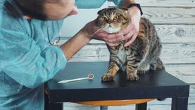 Veterinary clinic. Cute cat during examination by a veterinarian. Veterinary workshop. Veterinary clinic. Cute cat during examination by a veterinarian stock video footage