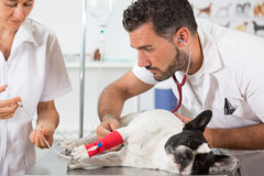 Veterinary clinic with a French bulldog Stock Photo
