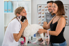 Veterinary clinic with a French bulldog Royalty Free Stock Photos
