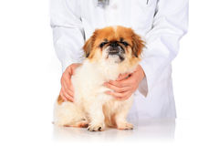 Veterinary concept. Royalty Free Stock Photos