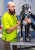 Veterinary consultation, veterinarian inspecting a greyhound with the owner royalty free stock photography